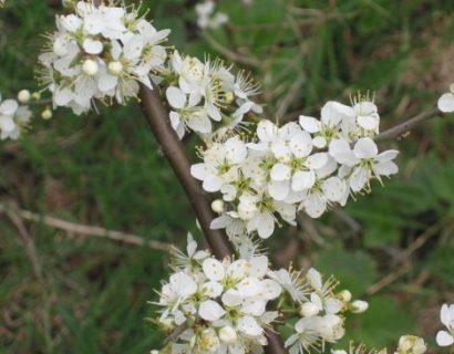 Prunus spinosa - Sleedoorn