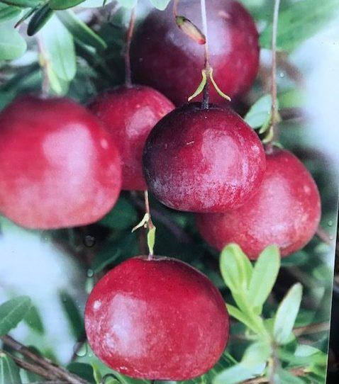 Vaccinium macrocarpon 'Cranberry' - Cranberry, veenbes