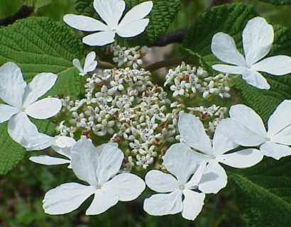 Viburnum furcatum - Sneeuwbal
