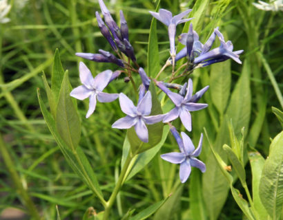 Amsonia 'Blue Ice' (grote pot) - Stermaagdenpalm, blauwe ster