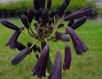 Agapanthus 'Black Magic' (grote pot) - Afrikaanse lelie, tuberoos