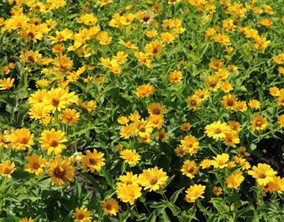 Heliopsis helianthoides var. scabra - Zonneogen