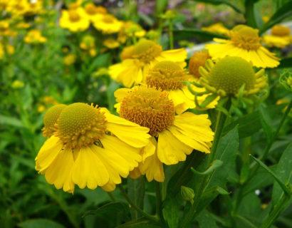 Helenium 'Lemon Sundae' (grote pot) - Zonnekruid