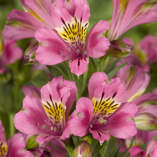 Alstroemeria 'Summer Break' (grote pot) - Incalelie
