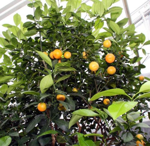 Citrofortunella microcarpa - Kamersinaasappel, dwergsinaasappel
