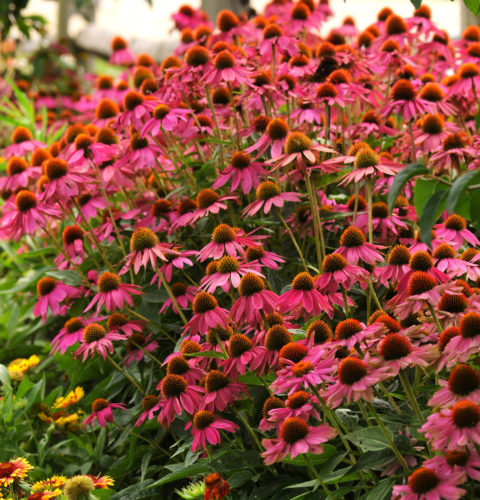 Echinacea 'Rosy Red' (grote pot) - Zonnehoed