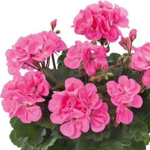 Geranium staand 'Dolce Vita Anne' - Staande geranium