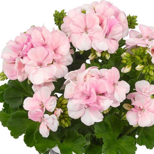 Geranium staand 'Smart Light Pink' - Staande geranium