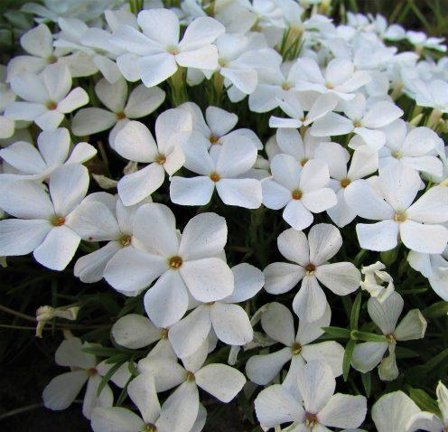 Phlox subulata 'White Delight' - Vlambloem