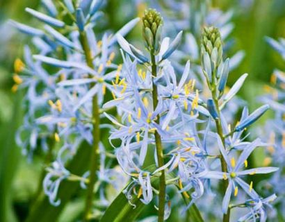 Camassia leichtlinii 'Blue Heaven' (grote pot) - Prairielelie, prairiekaars