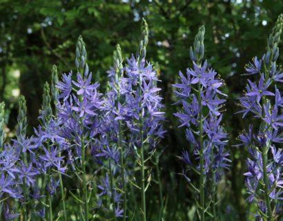 Camassia leichtlinii 'Caerulea' (grote pot) - Prairielelie, prairiekaars