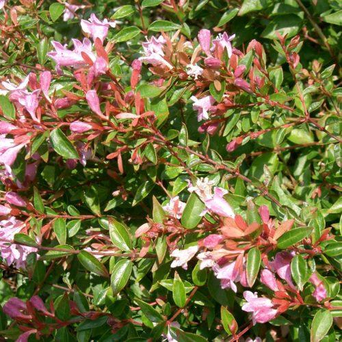 Abelia grandiflora 'Edward Goucher' - Abelia