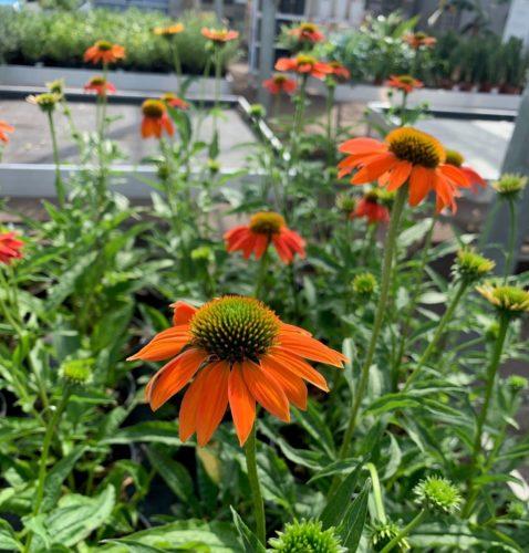 Echinacea 'Lakota Orange' (grote pot) - Zonnehoed