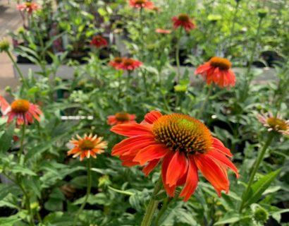 Echinacea 'Lakota Red' (grote pot) - Zonnehoed