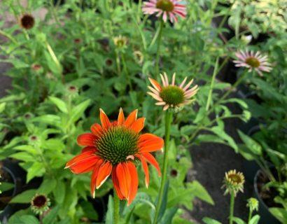 Echinacea purpurea 'Sombrero Salsa Orange' (grote pot) - Zonnehoed
