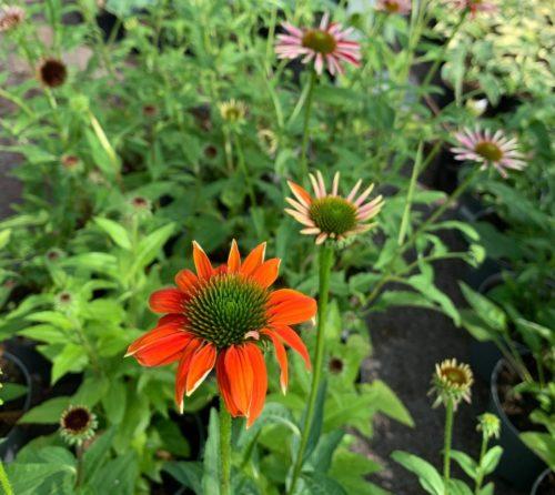 Echinacea 'Sombrero Salsa Orange' pot 3 liter