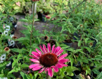Echinacea purpurea 'Sombrero Salsa Pink' (grote pot) - Zonnehoed