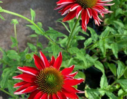 Echinacea purpurea 'Sombrero Salsa Red' (grote pot) - Zonnehoed