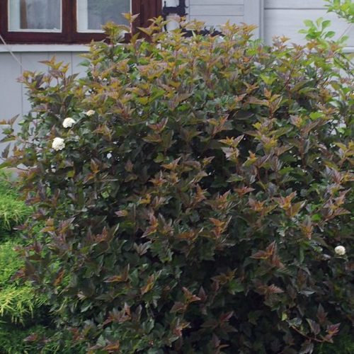 Physocarpus opulifolius 'Red Baron' - Blaasspiraea