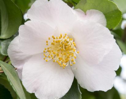 Camellia jap. 'Winter Perfume Pearl' - Camellia