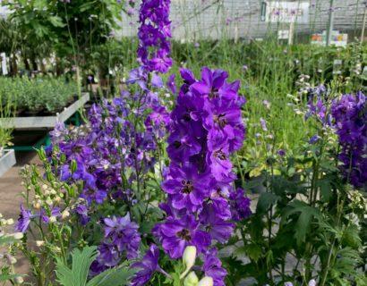 Delphinium elatum 'Dasante Blue' (grote pot) - Ridderspoor