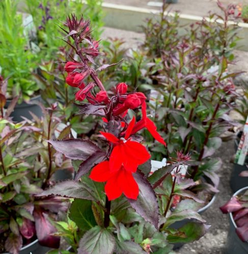Lobelia speciosa 'Fan Scarlet' (grote pot) - Lobélie