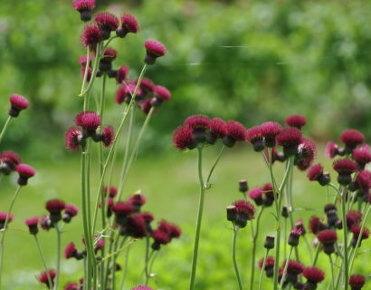 Cirsium rivulare 'Atropurpureum' - Vederdistel