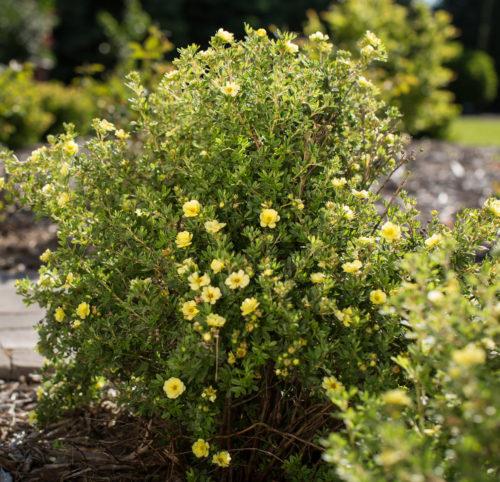 Potentilla fruticosa 'Lemon Meringue' - Ganzerik