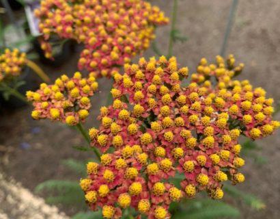 Achillea millefolium 'Safran' (grote pot)