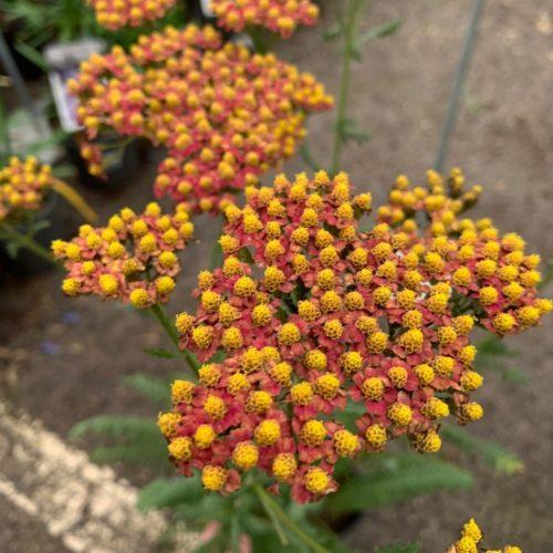 Achillea millefolium 'Safran' (grote pot) - Duizendblad