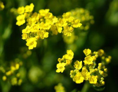 Alyssum montanum 'Berggold' - Schildzaad