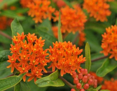 Asclepias tuberosa - Amerikaanse zijdeplant