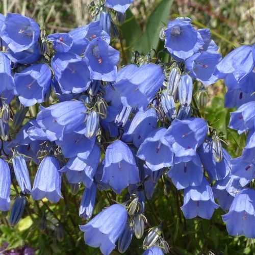 Campanula cochleariifolia 'Blue Baby' - Klokjesbloem