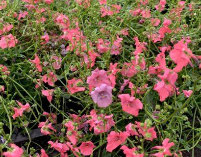 Diascia 'Ruby Field' - Elfenspoor