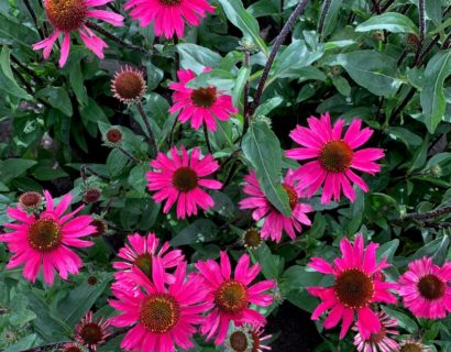 Echinacea 'Sensation Pink' (grote pot) - Zonnehoed