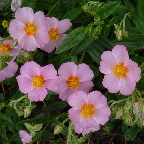 Helianthemum 'Lawrenson's Pink' - Zonneroosje