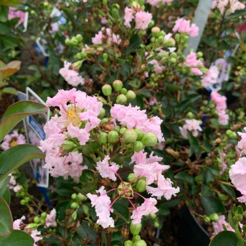 Lagerstroemia indica 'With Love Babe' - Inidische sering