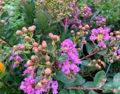 Lagerstroemia indica 'With Love Eternal' - Indische sering