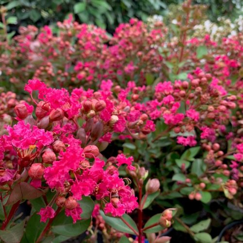 Lagerstroemia indica 'With Love Kiss' - Indische sering