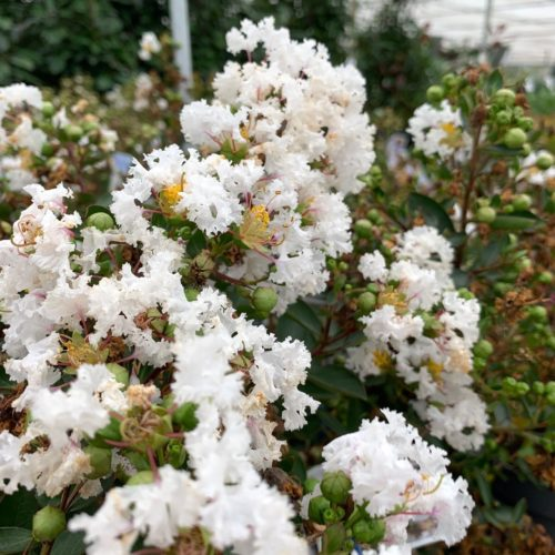 Lagerstroemia indica 'With Love Virgin' - Indische sering