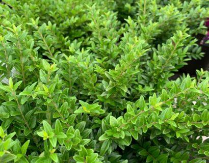 Lonicera nitida 'Green Breeze' - Chinese kamperfoelie