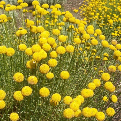 Santolina rosmarinifolia - Heiligenbloem