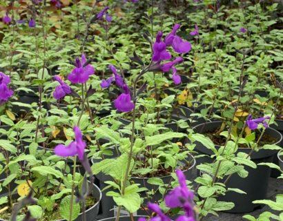 Salvia 'So Cool Pale Purple' (grote pot) - Salie