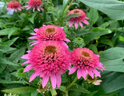 Echinacea 'Delicious Candy' (grote pot) - Zonnehoed