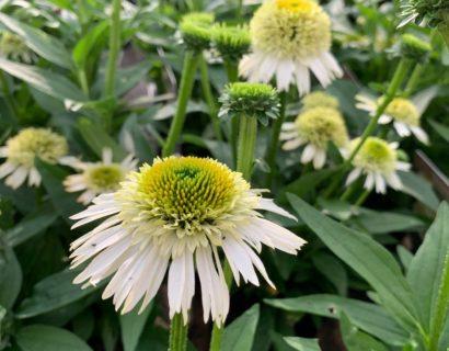 Echinacea 'Delicious Nougat' (grote pot) - Zonnehoed