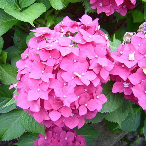 Hydrangea macrophylla 'Little Pink' - Hortensia