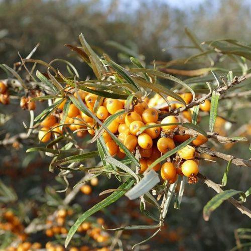 Hippophae rhamnoides 'Hergo' - Duindoorn