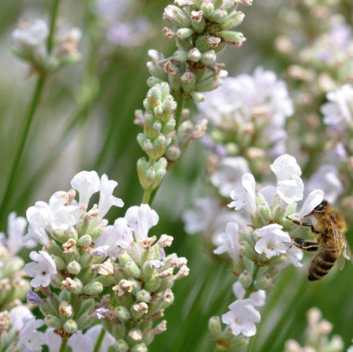 Lavandula angustifolia 'Alba' - lavendel
