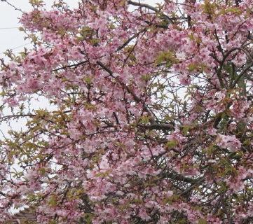 Prunus subhirtella 'Autumnalis Rosea' meerstammig - Sierkers