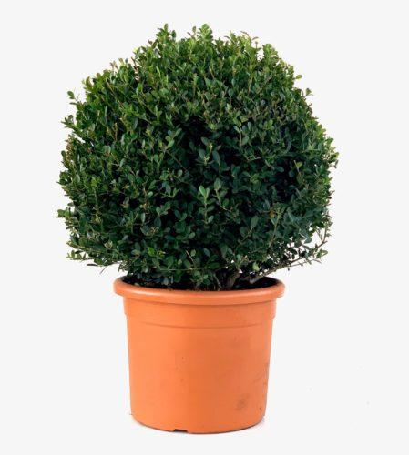 Ilex crenata 'Green Hedge' bolvorm - Japanse hulst